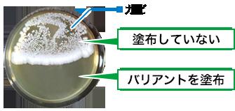 カビの繁殖実験 バリアント塗布